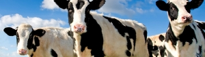 cow_banner_950